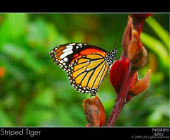 Striped Tiger [Explored]