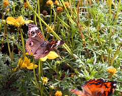 _MG_4179 (bijoubaby) Tags: seattle flowers orange flower nature yellow butterfly fly wings d butterflies wa delicate woodlandparkzoo paintedlady flutter butterflyroom netneutrality matters2me