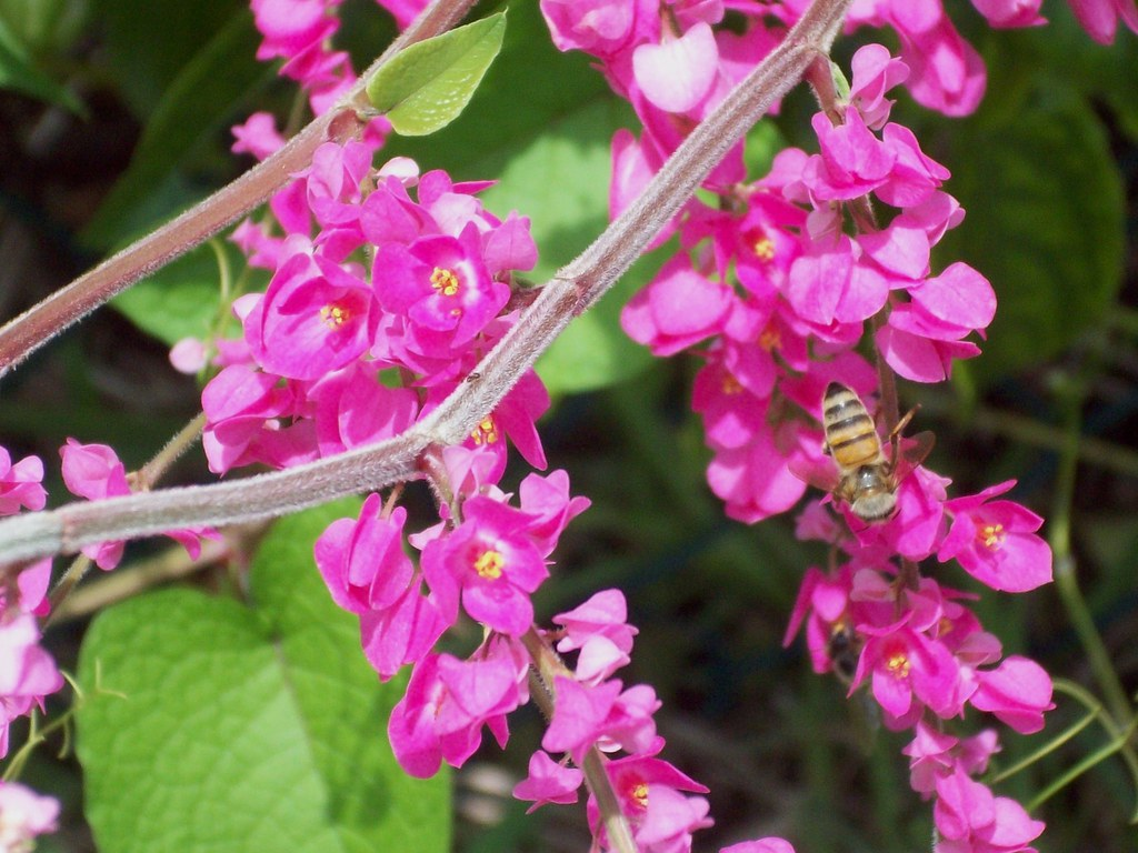 I Like Plants Coral Vine Antigonon Leptopus