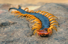 Giant Red-headed Centipede (9351a)
