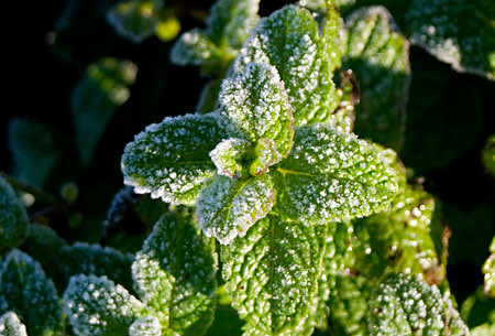 frost on the mint