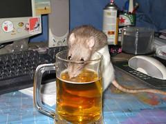 rats love beer! (pink fuzzy rat) Tags: pets cute beer rat rodents petrats smallfurries