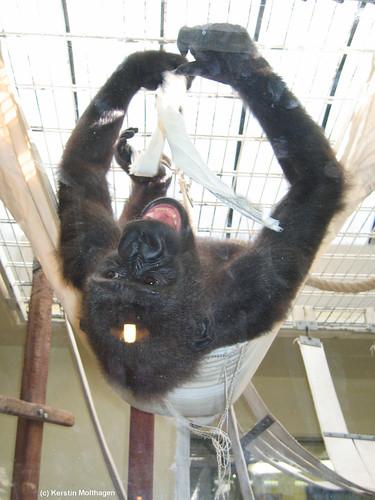 N'dowe Gorilla N Dowe albert herum  Wilhelma