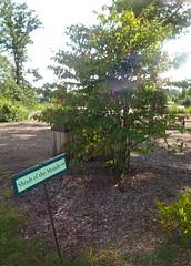 Shrub of the Month: Pagoda Dogwood (librarianlady78) Tags: pagoda illinois arboretum dogwood shrub month morton lisle cornus 81608 alternifolia