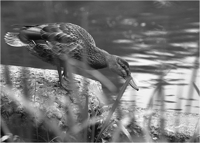 hungry duck
