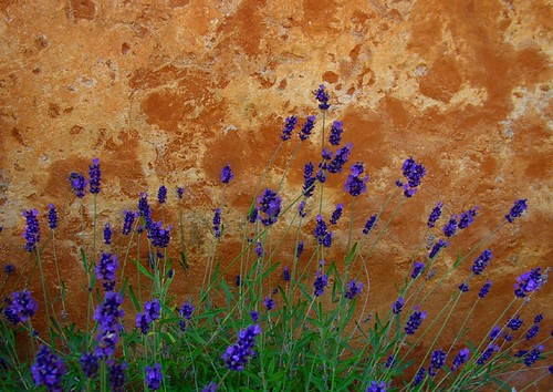 Flowers by a wall on Gotland, Sweden.