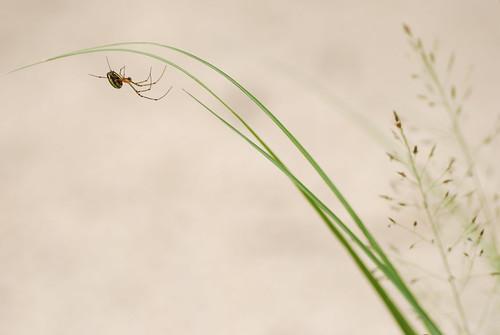 キララシロカネグモ