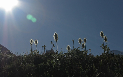 beargrass in the sun