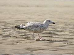 Juvenile Great Black Backed Gull