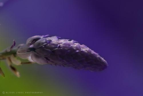 :: wisteria ::