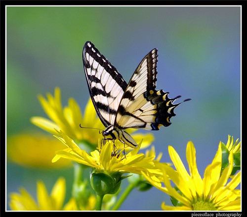 Yellow Eastern Tiger Swallowtail...
