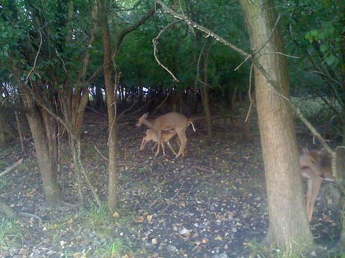 deer2008taglierifawnsuckling