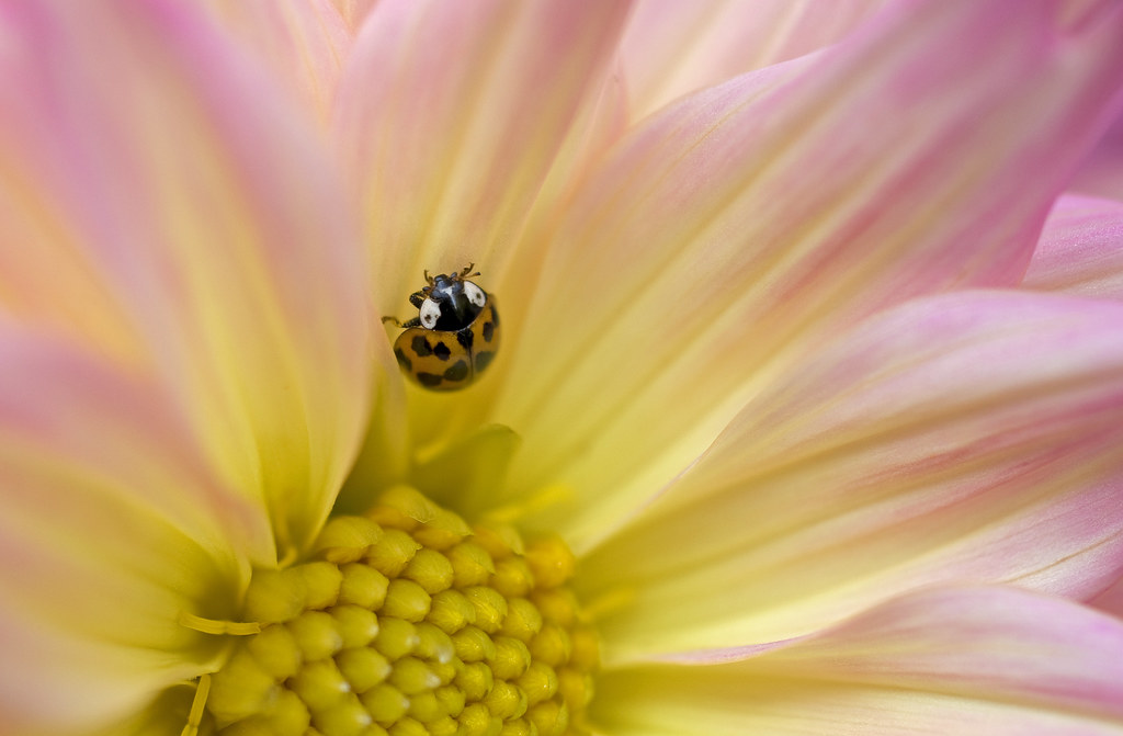 lady bug on dahlia