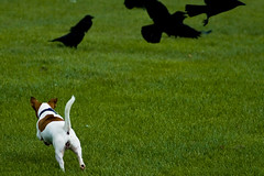 Scarecrow (In Memoriam: me'nthedogs) Tags: scarecrow terrier snaps jackrussell crows