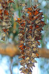 Natural Bridges Monarchs #2 - Santa Cruz, California (Jim Patterson Photography) Tags: santacruz butterfly nikon butterflies eucalyptus migration monarchs naturalbridges d300 danausplexippus wimberleysidekick 500mmf4p nikond300 markinsm20ballhead gitzocarbontripod beneathblueseas beneathblueseascom jimpattersonphotography jimpattersonphotographycom seatosummitworkshops seatosummitworkshopscom