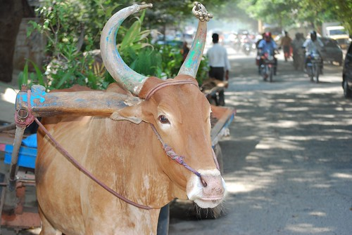 Cattle Cart