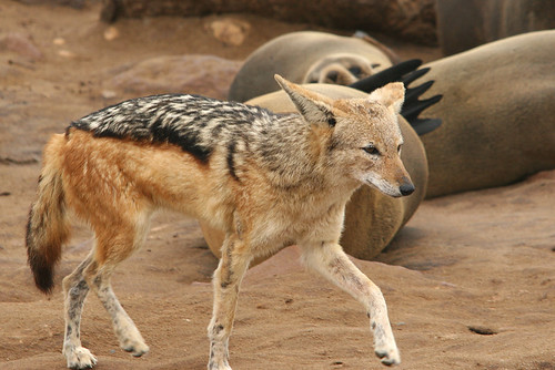 Black backed Jackal, Cape Cross, Namibia, oct.'08