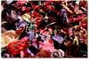 cores & textura & sensações ... (Fabiana Velôso) Tags: textura folhas cores sementes seco secas mistura duetos frenteafrente muitascores fabianavelôso