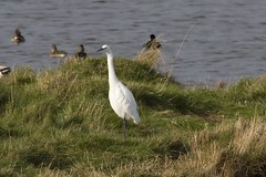 Egret (Smudge 9000) Tags: 2008 egret kwt oaremarshes