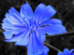 ~Only blue~ (.. (AWAY)) Tags: blue flower macro photoshop d experiment soe visualart elisa hmb blueribbonwinner supershot bej theunforgettablepictures overtheexcellence lesamisdupetitprince happymondayblues  verywildchicory ~onlyblue~
