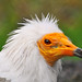 Portrait of an Egyptian vulture