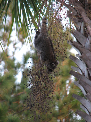Raccoon in a palm tree