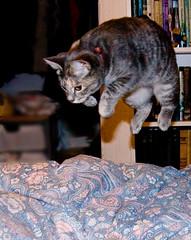 Pounce! (Debbie G) Tags: kitten action tabitha pfogold pfosilver pfoisland04