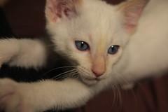 Albano (karinregina) Tags: cat kitten tabby siamese gato felino siames redpoint babycat gatito albano flamepoint