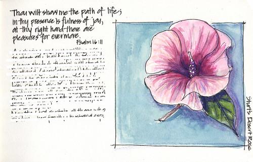 081223 Sturts Desert Rose