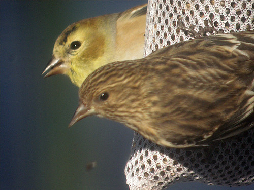 Pine Siskin and American Goldfinch