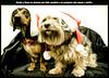ROCKY Y KUNA (María Baixauli) Tags: pose navidad modelos rocky perro perros felicidad caritas teckel kuna guapos perra carita pelos modelazos salchicha pelitos bonicos estudiocasero sonyalpha100 chuchis perretes bonicosdelto