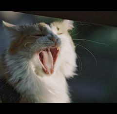 Yaaaaaaaawnnnn!!!! (LinoPhilippe) Tags: chile santiago cats film cat kitten feline chat kitty gatos gato felino katze gatto katzen matou chatte chaton proimage100 hauskatze felidi