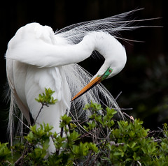 Preening (JLMphoto) Tags: white bird nature saint birds farm great alligator preening kingdom breeding augustine egret plumage naturesfinest supershot animak specanimal avianexcellence natureselegantshots jlmphoto