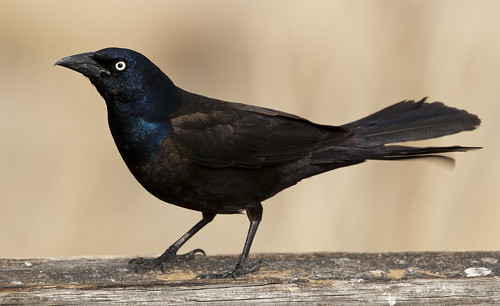 common grackle male. Common Grackle Male 3