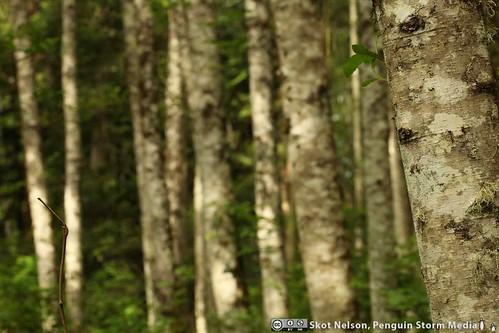 Poplars, Salt Spring Island