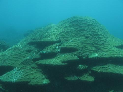 圖. 2 碩大的鐘形微孔珊瑚