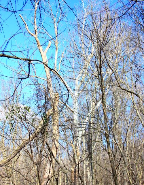white.tree