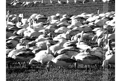 0223 Snow Geese (beckypea) Tags: bw birds snowgeese
