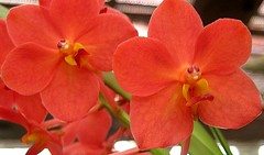 orchid twins (Carpe Feline) Tags: orchid flower asia srilanka botanicalgarden kandy fpc lifeasiseeit onlythebestare carpefeline betterthangood goldstaraward mimamorflowers showmeyourqualitypixels goldenpalmaward