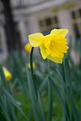 Projekt 365 #45: Daffodil