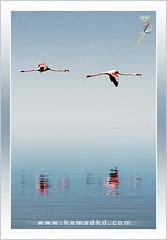 Flamingo (Hamad Al-meer) Tags: pink sea reflection bird birds canon eos fly zoom flamingo hd hamad 30d 400mm  100400   aplusphoto   betterthangood hamadhd hamadhdcom wwwhamadhdcom