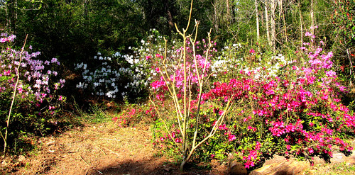 CrabAppleLane Azaleas - March 23, 2008 - Easter Sunday
