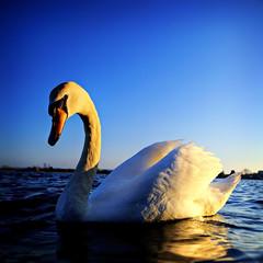 HELLO DANI'S FRIENDS !!! (Dani Balkanska) Tags: hello park bird big swan dani poole eow danroka