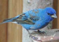 Indigo Bunting, male (Vicki's Nature) Tags: male bird animals canon georgia vivid s3 birdwatcher empyrean indigobunting brillianteyejewel colourartaward natureoutpost vickisnature thewonderfulworldofbirds bwcgsmallbirds bwcgbackyardbirds bwcgcolorfulbird