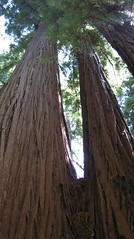 redwood_up