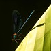 Malissard libellule sur feuille de bananier / Patrick Boit photographe Valence Drôme