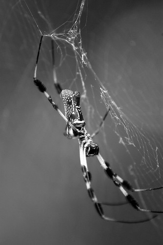 Golden Silk Spider (B&W)