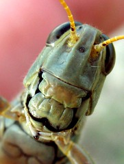 Hope you're soon smiling again! (phekda5000) Tags: macro smile maryland grasshopper worcester easternshoreofmaryland worcestercounty goldstaraward worcestercountymaryland happygrasshopper smilinggrasshopper