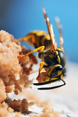 Wasp stealing meat (Tambako the Jaguar) Tags: blue black yellow insect switzerland holding nikon wasp eating balcony meat cutting neuchtel stealing d300 serrires impressedbeauty aplusphoto photofaceoffwinner pfogold beautifulmonsters