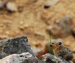 Pika at Cavell Meadows (Mattlong.) Tags: canada mountains cute grass animal rocks fuzzy stones gimp jaspernationalpark pika lateralmoraine glacialdeposits cavellmeadowstrail